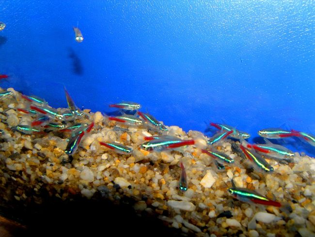 стайка голубых неонов плавает у дна в аквариуме