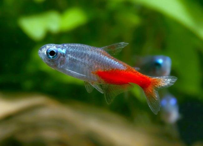 миролюбивая рыбка неон обыкновенный в аквариуме