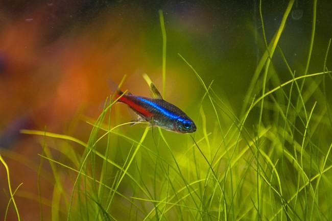 голубой неон плавает в аквариуме среди растений