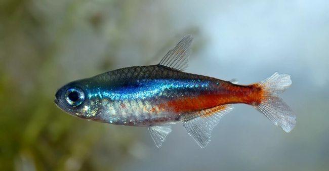 рыбка неон голубой
