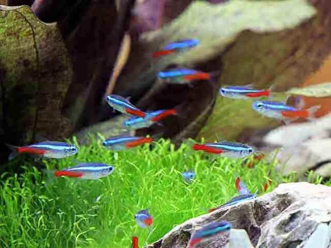 неоны обыкновенные плавают в аквариуме
