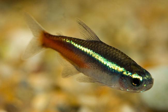 миролюбивая рыбка неон голубой в аквариуме