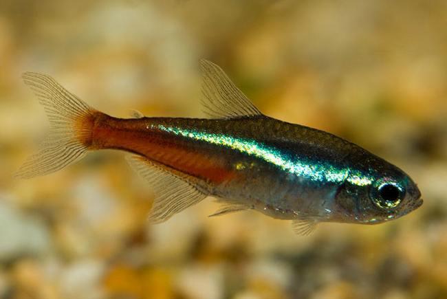 неон обыкновенный или голубой в аквариуме