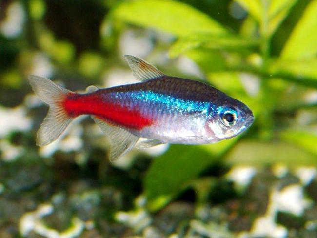 миролюбивая рыбка неон обыкновенный или голубой в аквариуме