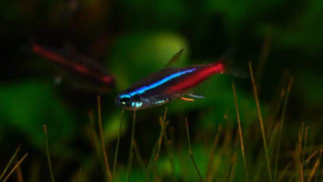 неон голубой или обыкновенный в аквариуме