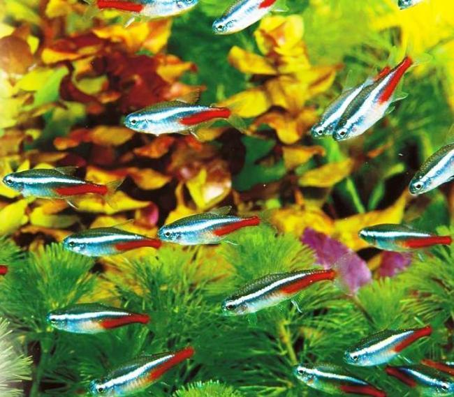 голубые неоны в аквариуме