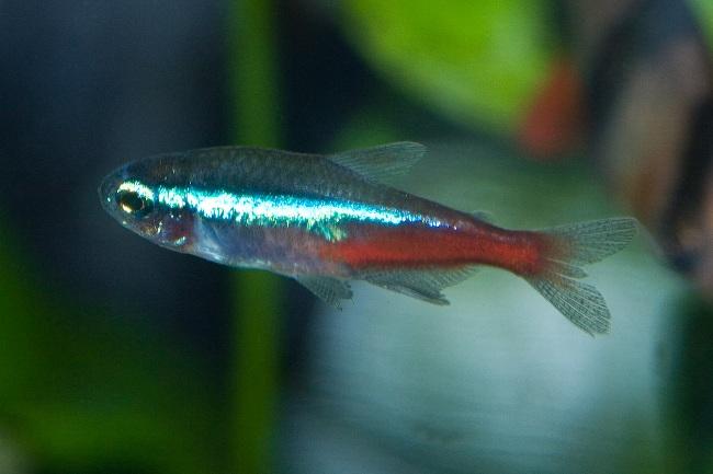 рыбка неон голубой в аквариуме
