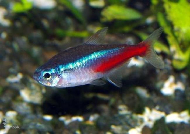неон голубой плавает у дна в аквариуме