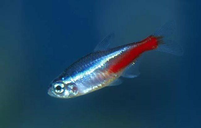 рыбка голубой неон плавает в аквариуме