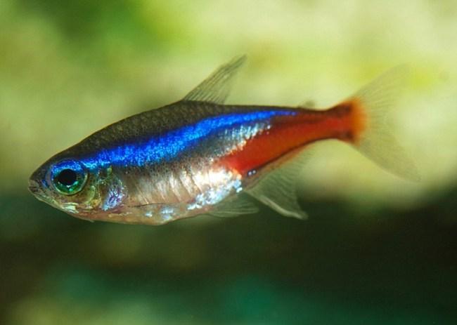 рыбка неон обыкновенный