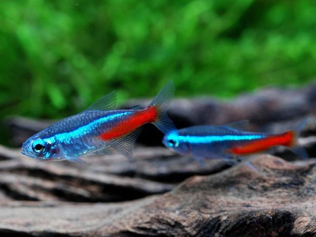 рыбки неоны голубые плавают в аквариуме