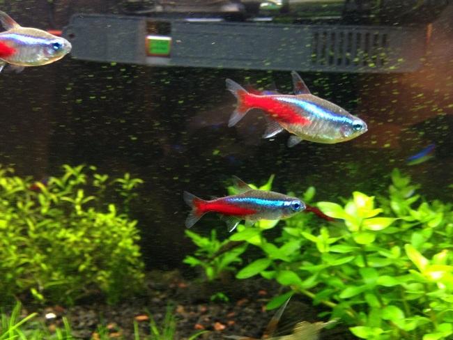 аквариум с обыкновенными или голубыми неонами