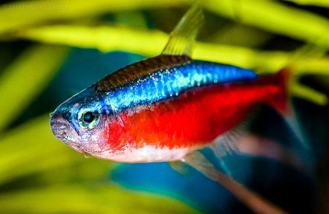 рыбка красный неон