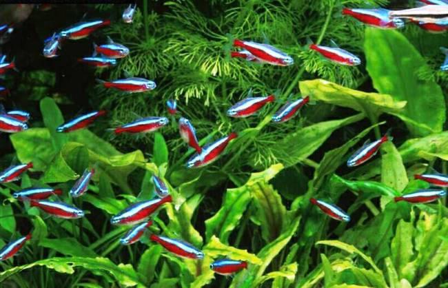 красные неоны в аквариуме на фоне растений