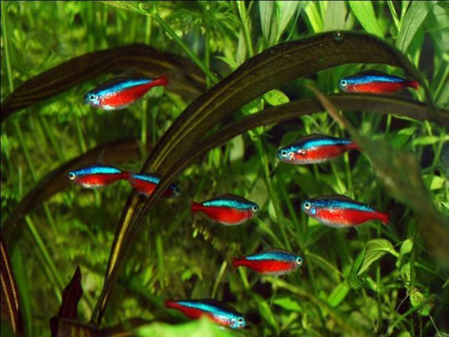 красные неоны на фоне растений в аквариуме