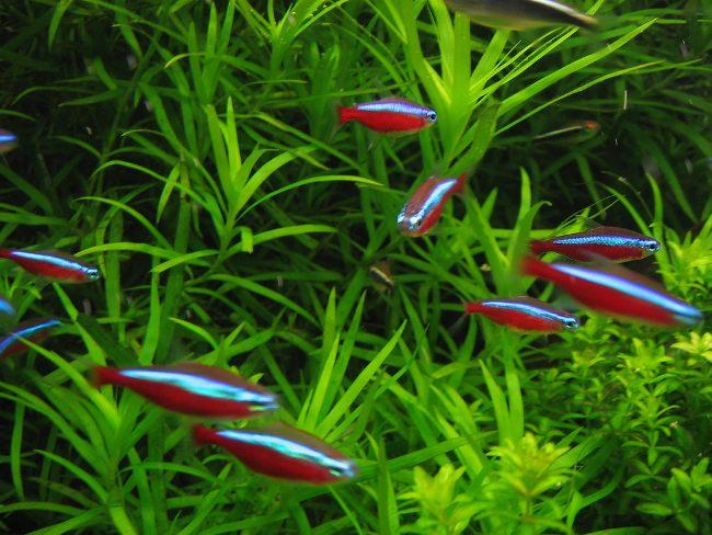 рыбки красные неоны в аквариуме