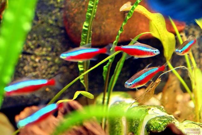 красные неоны в аквариуме