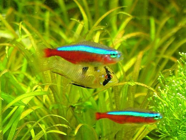 красные неоны с другими рыбками в аквариуме