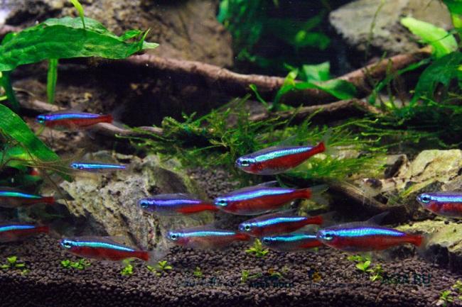 стайка красных неонов проплывает у дна аквариума