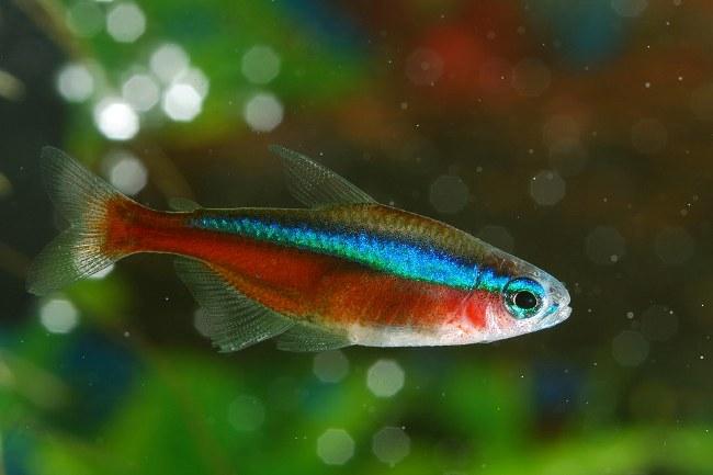 тропическая рыбка кардинальская тетра