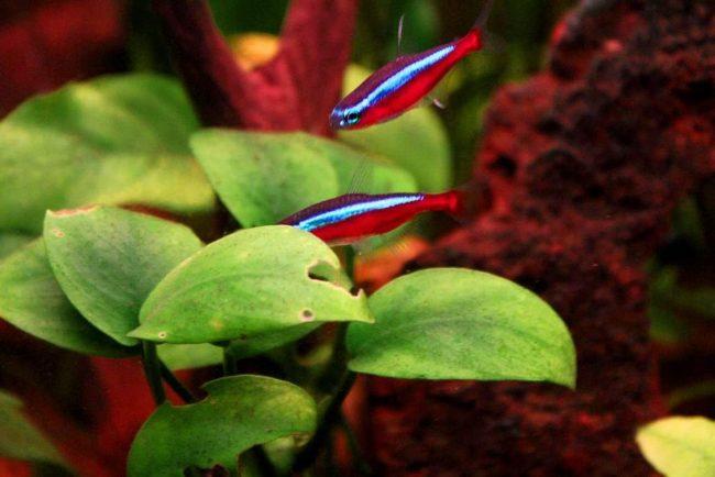 пара рыбок красный неон в аквариуме