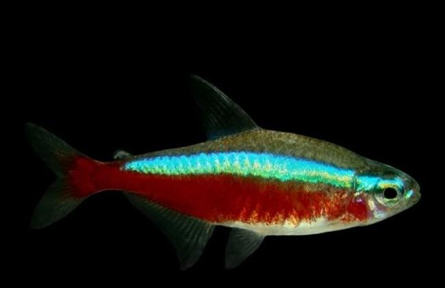 рыбка семейства харациновых кардинальская тетра