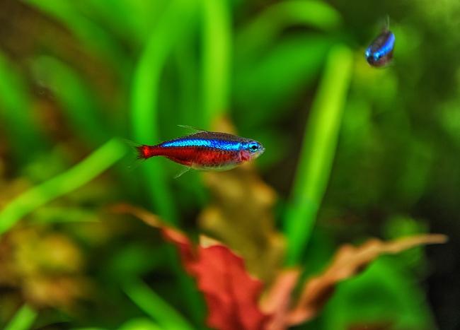 рыбка красный неон или кардинальская тетра в аквариуме
