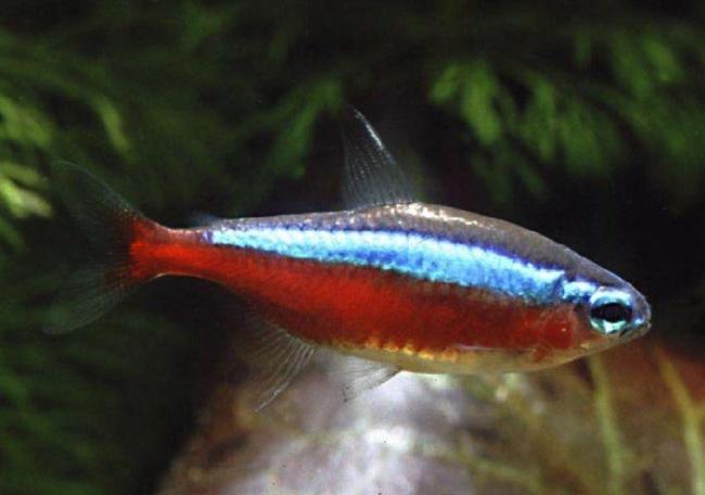рыбка семейства харациновых красный неон