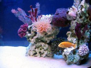аквариум псевдоморе с фоном синего цвета