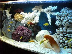 цихлиды в аквариуме псевдоморе