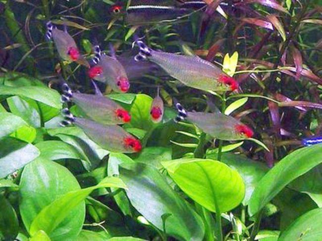 родостомусы плавают в аквариуме