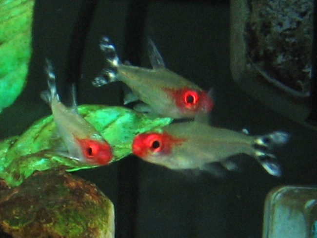 родостомусы или тетры пьяный нос в аквариуме