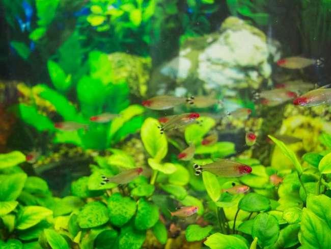 аквариум с рыбками родостомус