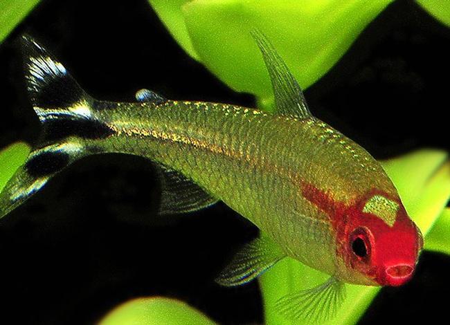 тропическая рыбка родостомус
