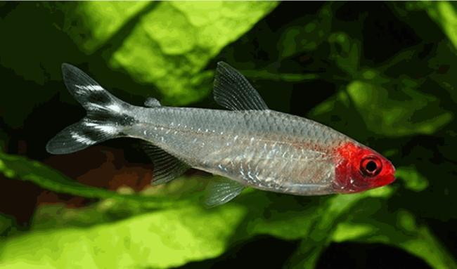 аквариумная рыбка семейства харациновых родостомус или красноносая тетра
