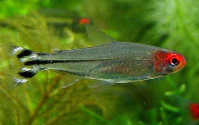 тропическая рыбка родостомус или красноносая тетра