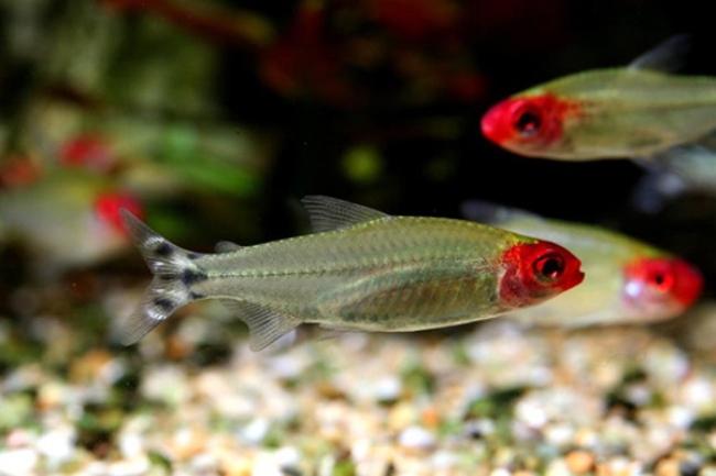 рыбки родостомусы или красноносые тетры плавают в аквариуме