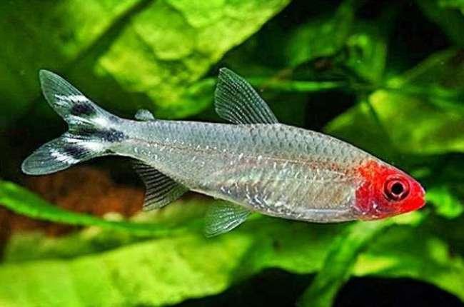 тропическая рыбка родостомус или красноголовая тетра