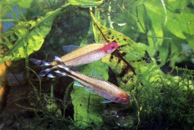 пара тропических рыбок родостомус плавает в аквариуме