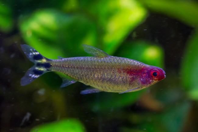 рыбка родостомус
