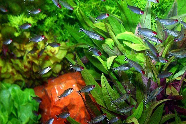рыбки родостомусы или красноносые тетры