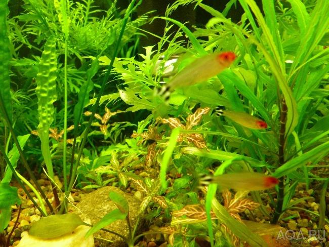 аквариумные рыбки семейства харациновых родостомусы
