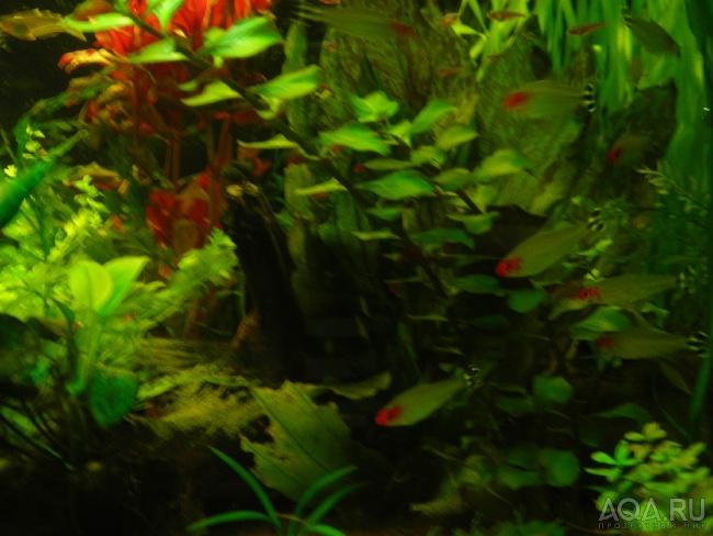 рыбки родостомусы или красноносые тетры в аквариуме