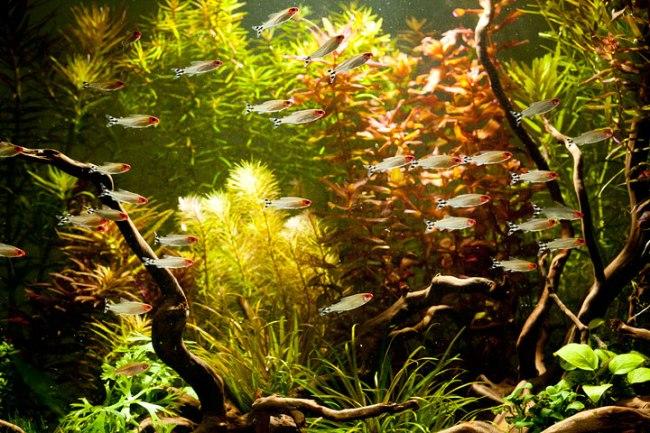 аквариум с тропическими рыбками родостомусами
