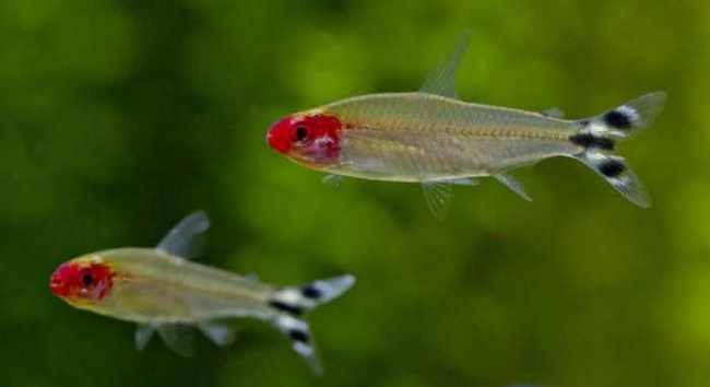 родостомусы или краснорылые тетры плавают в аквариуме