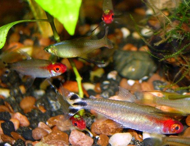 аквариумные рыбки семейства харациновых родостомусы или тетры пьяный нос