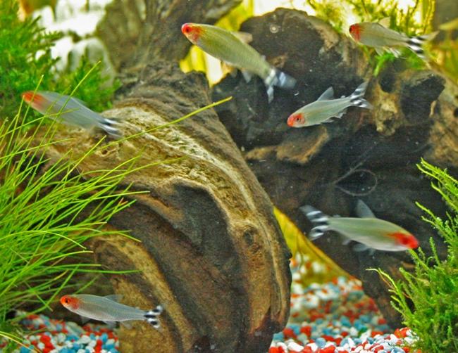 тропические рыбки родостомусы или краснорылые тетры в аквариуме