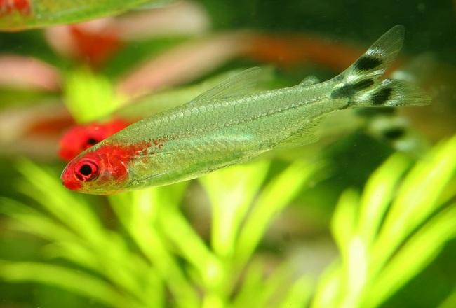 пара аквариумных рыбок семейства харациновых родостомус
