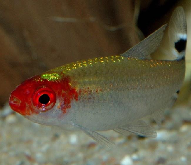 рыбка родостомус или тетра пьяный нос
