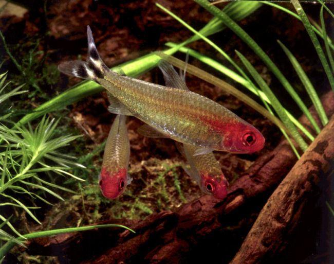 аквариумные рыбки семейства харациновых родостомусы или красноголовые тетры